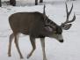 RORA Deer Pictures
